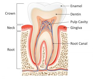 A diagram of a tooth, showing where the tooth root, which a dental implant replaces, is